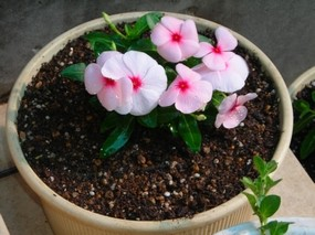 鉢花.jpg